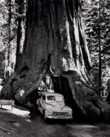 A tall redwood tree, or Sequoia,  through which a road has been cut- 1955 Fine-Art Print