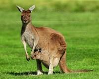 Kangaroo Fine-Art Print