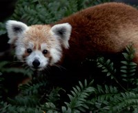 Red Panda Fine-Art Print