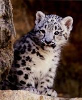 Snow Leopard Fine-Art Print