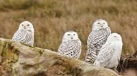 Flock of Snowy Owl, Boundary Bay, British Columbia, Canada Fine-Art Print