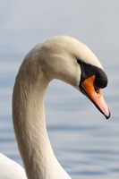 British Columbia, Vancouver, Mute Swan bird Fine-Art Print
