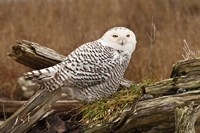 Canada, British Columbia, Boundary Bay, Snowy Owl Fine-Art Print