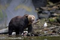 Canada, British Columbia Grizzly bear eating salmon Fine-Art Print