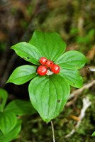Temperate Rainforest Berries, Bramham, British Columbia Fine-Art Print