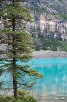 Pine tree, Moraine Lake, Banff National Park, Canada Fine-Art Print
