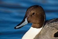 British Columbia, Westham Island, Pintail Duck Fine-Art Print