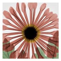 Chrysanthemum Marsala Fine-Art Print