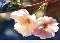 Cherry Blossom 2 Fine-Art Print