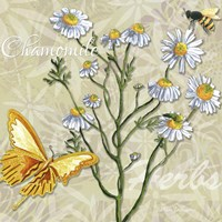 Herbs 3 Chamomile Fine-Art Print
