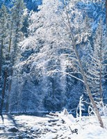 Snow covered trees along Merced River, Yosemite Valley, Yosemite National Park, California Fine-Art Print