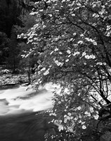 Pacific Dogwood tree, Merced River, Yosemite National Park, California Fine-Art Print