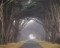 Corridor of Cypress Fine-Art Print