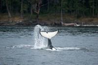 Canada, Vancouver Island, Sydney Killer whale slaps its tail Fine-Art Print