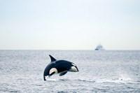 Canada, BC, Sydney, Strait of Georgia Killer whale breaching Fine-Art Print