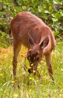 Sitka Black Tail Deer, Fawn Eating Grass, Queen Charlotte Islands, Canada Fine-Art Print