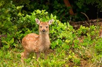 Fawn, Sitka Black Tailed Deer, Queen Charlotte Islands, Canada Fine-Art Print