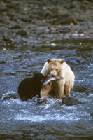 Sow with Cub Eating Fish, Rainforest of British Columbia Fine-Art Print