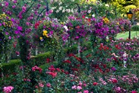 Rose Garden at Butchard Gardens In Full Bloom, Victoria, British Columbia, Canada Fine-Art Print