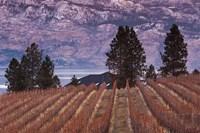 Vineyard and lake, West Kelowna, Okanagan Valley, British Columbia, Canada Fine-Art Print