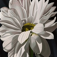 Black Tie Daisy Fine-Art Print