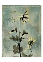 Columbine Grey Fine-Art Print