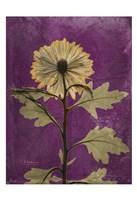 Chrysanthemum Purple II Fine-Art Print