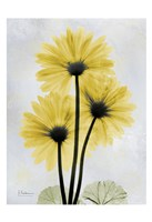Golden Gerbera 1 Fine-Art Print