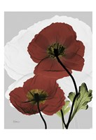 Iceland Poppy 8 Fine-Art Print