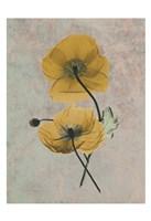 Iceland Poppy 9 Fine-Art Print