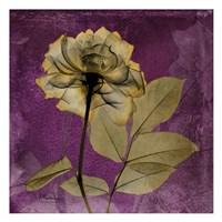 Rose 7 Fine-Art Print