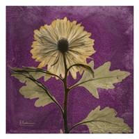 Chrysanthemum Purple III Fine-Art Print