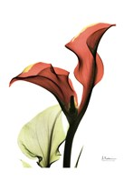 Calla Lily Red Fine-Art Print