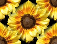 Sunflower 26 Fine-Art Print