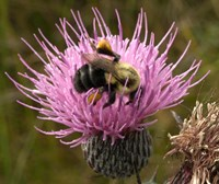 Thistle and bumble bee Fine-Art Print