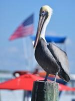 Patriotic Pelican Fine-Art Print