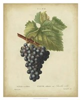Antique Bessa Grapes I Fine-Art Print