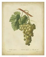 Antique Bessa Grapes II Fine-Art Print
