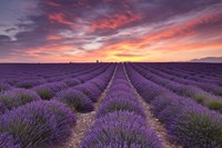 Sunrise over Lavender Fine-Art Print