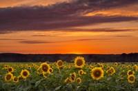 Sunset over Sunflowers Fine-Art Print