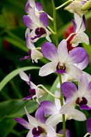 Flowers in National Orchid Garden, Singapore Fine-Art Print