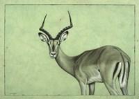 Impala Fine-Art Print