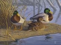 Evening Rest - Mallards Fine-Art Print