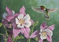 Hummingbird Pink - Columbine Fine-Art Print