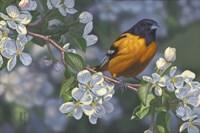 Oriole and Apple Blossoms Fine-Art Print
