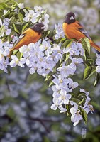 Orioles in the Orchard Fine-Art Print
