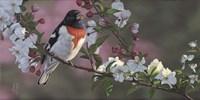 Rose Breasted Grosbeak and Apple Blossoms Fine-Art Print