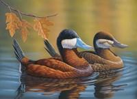 Stiff Tails Ruddy Ducks Fine-Art Print