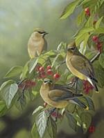 Three's Company - Cedar Waxwings Fine-Art Print