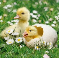 Easter Chicks 1 Fine-Art Print